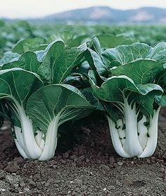 Pak Choi, Joi Choi Chinese Cabbage Seeds and Plants, Vegetable Gardening at… Farm Gardens, Outdoor Gardens, Organic Gardening, Gardening Tips, Vegetable Gardening, Veggie Gardens, Organic Soil, Gardening Books, Flower Gardening