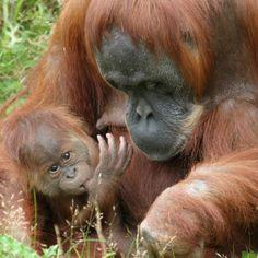 orangutan   Orangutanes