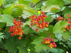Crampbark Shrub,Crampbark Shrub seed,Crampbark seed,Viburnum-Bountiful Gardens