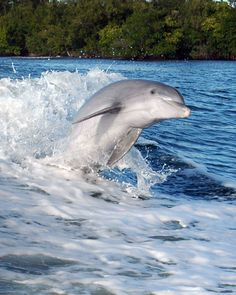 A dolphin jumps through the wake of a boat on the Intracoastal Waterway in Vero Beach. Animals Beautiful, Cute Animals, Indian River Lagoon, Dolphin Tale, Bottlenose Dolphin, Underwater Creatures, English Bull Terriers, Sea World, Ocean Life