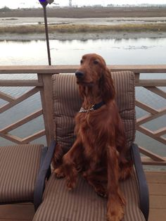 Duffy my Irish setter puppy! #irishsetter #newportbeach