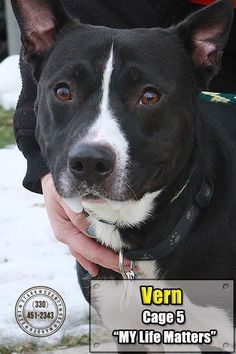 """VERN """"05 Vern"""" - URGENT - Stark County Dog Warden in Canyon, Ohio - ADOPT OR FOSTER - Adult Male Pit Bull Terrier - Available December 23, 2016."""