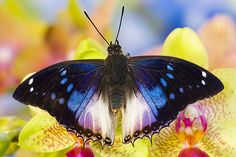 Violet-spotted Charaxes Butterfly - Charaxes violetta Darrel Gulin photography