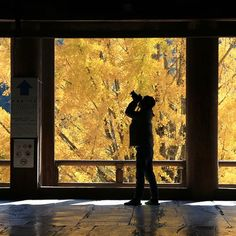 A supernatural light ? No it's just a gingko !  Une lumière surnaturelle ? Non juste un ginkgo en plein soleil !  #japon #japan #travel #hiroshima #miyajima #miyajimaisland #miyajimagram #ginkgo #ginkgobiloba #autumnvibes #yellow #shadow #photographer #instant #chiaroscuro #lightandshadow #light #eos70d #japankudasai