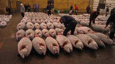 Tsukiji Tuna Auction Tour | travelience