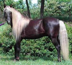 rocky mountain horses | Rocky Mountain Horse