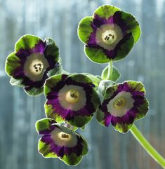 Primula Auricula - Helen Barter - Photograph by Richard Duffy-Howard Rare Orchids, Primula, Spring Roses, Rare Flowers, Primroses, Beautiful Flowers, Trees To Plant, Flower Lover, Primula Auricula