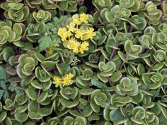 Sedum tetractinum 'Coral Reef' is a low-growing, mat-forming stonecrop or sedum cultivar. Foliage typically grows up to 3 inches (7.5 cm)...