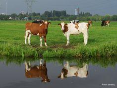 Curious cows ... http://godisindestilte.blogspot.nl/2017/07/curious-cows.html