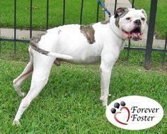 Brutus is an adoptable American Bulldog Dog in Houston, TX. IN NEED OF A FOSTER HOME UNTIL I CAN BE ADOPTED! Looking for a happy, gentle boy who is sweet and eager to please?  My name is Brutus and I'...