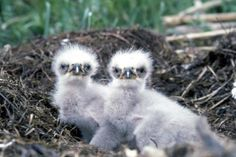 Stand by for baby eagles on webcam!