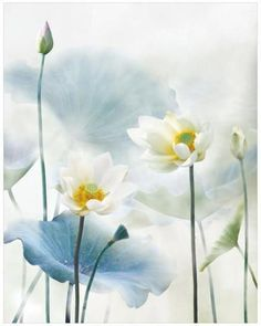 ✿ White flower ✿ The Feminine Beauty - pastel white flower lotus Pastel Flowers, White Flowers, Beautiful Flowers, Lotus Painting, Watercolor Paintings, Lotus Flower Pictures, Lotus Art, Aquatic Plants, Chinese Painting