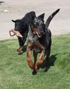 Harle & black and tan beauceron puppies