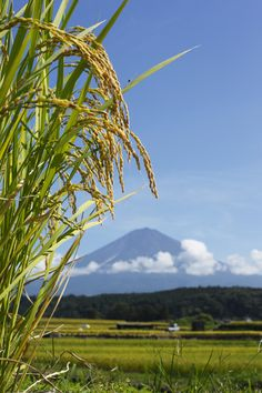 Japan is a country of rice*-*.