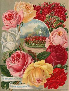 Vintage Seed Packet,,,Hardy Ever Blooming Roses Decoupage Vintage, Art Vintage, Vintage Ephemera, Vintage Postcards, Vintage Prints, Vintage Labels, Vintage Pictures, Vintage Images, Illustrations Vintage