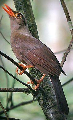 Sulawesi Thrush (Cataponera turdoides)