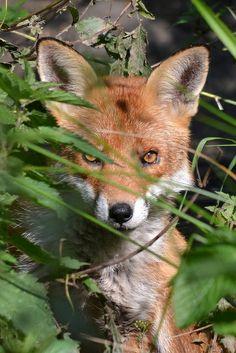 Red Fox by davidrhall1234 via Flickr