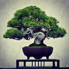 Junipes Bonsai