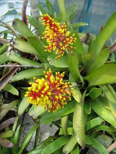 Aechmea caudata | Flickr - Photo Sharing!
