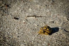 Cute land Tortoise   by Pizeta76, via Flickr