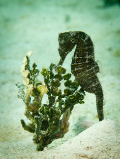beautiful seahorses in love | Photo from Mario Chow: A wild seahorse in Utila, Honduras.