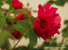 Congratulations to Colin Dickson, of Dickson Roses, who bred Rosa 'Lovestruck', the winner of the Rose of The Year 2018 Competition. Hampton Court Flower Show, Rhs Hampton Court, Shows 2017, Beautiful Roses, Stems, Red Flowers, Palace, Congratulations, Competition