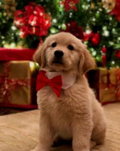 Discover the 10 cutest animals in the world 🥰 🌎🐈 Golden Retriever Labrador, Golden Retrievers, Retriever Puppy, Dog Christmas Pictures, Christmas Puppy, Very Cute Dogs, Puppy Pictures, Puppy Pics, Funny Animal Videos