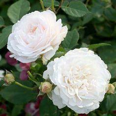 """本日の薔薇""""  ^^  ツル グルースアンアーヘン[Gruss An Aachen,Climbing]   同名の「グルース アン アーヘン」の つるバラタイプ。咲き始めは、まるで練乳 のような淡いクリーム色、開花が進むと 白色へと変わってゆきます。枝はトゲが 少なく丈夫によく育ち、アンティーク風情 の花を数えきれないほど咲かせます。枝 はやや直立に伸び、管理しやすくおすすめ です  花径:8cm 樹高:2.0~2.5m 二季咲き その他:香⇒ゆたかな香り  ※京阪園芸ガーデナーズのつるバラはこちらから→ http://www.keihan-engei-gardeners.com/fs/keihangn/c/climbing"""