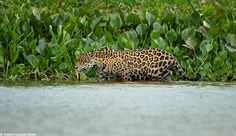 Jaguars in the Pantanal of Brazil feed a lot on caimans (a croc), especially during the dry season when they are more concentrated. We found this one during my last Jaguar Photo Tour, she was wading in the shallow water looking for caimans. Shortly before this pic she almost got one.