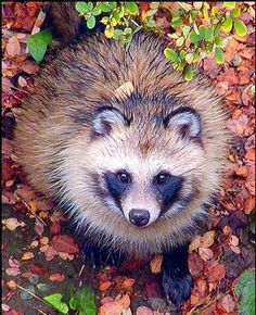 Raccoon-dogs are omnivorous, feeding on invertebrates, frogs, lizards, rodents and birds along with seeds, berries, fruit and rhizomes. Those living near the ocean will also eat crabs and other marine species.