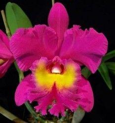 Blc Bryce Canyon 'Splendiferous' Cattleya Alliance Fragrant Orchid Plant[CAT407]