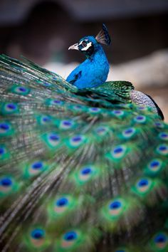 """Preening Peacock "" by Matt MacLean)"