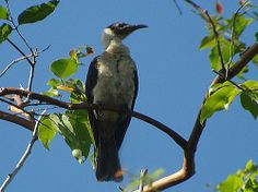 The 'White-naped Friarbird' (Philemon albitorques) is endemic to the Manus Province of Papua New Guinea. Not a particularly handsome bird - like most friar birds - but it has a very distinct call that you will hear EVERYWHERE on the island. Natives call it after its call 'Chauka'. #PapuaNewGuinea #birds #Birdwatching www.papuanewguinea.travel/birdwatching