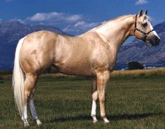 Skip Premiere - Palomino Quarter Horse Stallion in Spanish Fork, Utah 84660 Quarter Horses, American Quarter Horse, Palomino, Appaloosa, All The Pretty Horses, Beautiful Horses, Animals Beautiful, All About Horses, Horse World