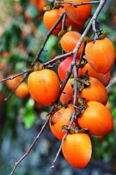 Fruit Plants, Fruit Garden, Fruit Trees, Persimmon Fruit, Pretty Landscapes, Fruit Picture, Strange Photos, Exotic Fruit, Botanical Drawings