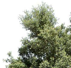 Quercus Suber II