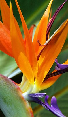 Serene Nature Photography from around the World Hawaiian Flowers, Tropical Flowers, Tropical Plants, Unusual Flowers, Types Of Flowers, Beautiful Flowers, Macro Flower, Flower Art, Birds Of Paradise Flower