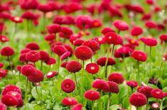 Free Photo: Flower, Red, Summer, Spring - Free Image on Pixabay - 275969