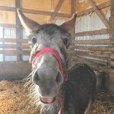 If only they could laugh #donkey #donkeys #farmanimals #cuteanimals #funny
