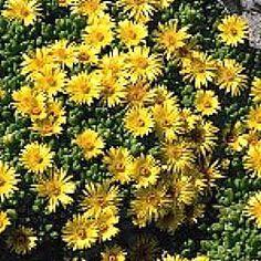 Golden Ice Plant