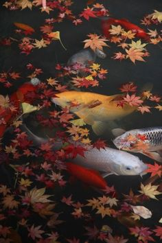 Japanese garden,koi pond 撮影:Lime2さん