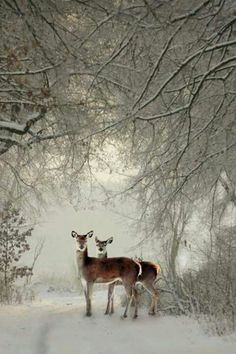 deer in the winter snow Winter Szenen, Winter Magic, Beautiful Creatures, Animals Beautiful, Cute Animals, Snow Scenes, Tier Fotos, Mundo Animal, Winter Beauty