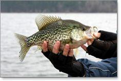 Minnesota Crappie Fishing - Minnesota Fishing - Fishing in MN - Leech Lake