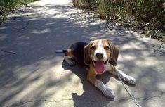 La experiencia de educar un cachorro de beagle llamado Balto. María y Abraham cuentan la experiencia que tuvieron a la hora de educar un cachorro de beagle que llegó a España desde Eslovaquia. Balto (así se llama) resultó ser un perro fiel a esta raza, bastante travieso y dominante, por lo que se le tuvieron que aplicar muchas de las recomendaciones que damos en nuestro blog.  #AdiestramientoCanino, #FotosdePerrosbeagle