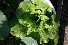 The Head is the edible part of a cabbage plant. Ideally, a good-quality cabbage head is firm, crisp, juicy, and sweet. Sometimes the taste can also be a little peppery. So if your cabbage is not forming any head, it can be disastrous. Here in this post, we will discuss... Cabbage Plant, Cabbage Head, My Cabbages, Growing Veggies, Crisp, Sweet, Candy