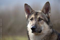 Half dog half wolf, the Saarloos Wolfdog is an astonishing, relatively recent creation