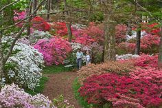 The Overlook Azalea Garden is steeped in Callaway history, having been planted under the direction of co-founder Virginia Hand Callaway, with the help of azalea expert Fred Galle. Description from callawaygardens.com. I searched for this on bing.com/images