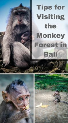 Tips for visiting the Monkey Forest in Bali. The Sacred Monkey Forest in Ubud, Bali comes with it's fair share of controversy. We have met people that won't set foot in the place because of the experiences they have had or the stories they have heard from others. On the other side of the spectrum are the people that have visited the monkey forest and enjoyed it. Click to read more http://www.divergenttravelers.com/tips-visiting-monkey-forest-bali/