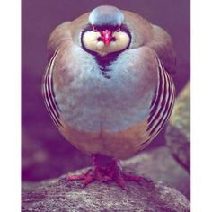 #partridge #naturalbeauty #nature #beautiful #animals #red #green #spamforspam #like4follow #likeforlike #like4like #tumblrphotos #photography #canon #soran #akre #kurd #kurdistan #hawler #slemani #duhok #zaxo #barzan #ranya #Repin @kurdographya