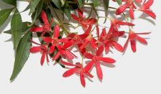 The Nature of Robertson: NSW Christmas Bush on edge of Barrengarry Mountain
